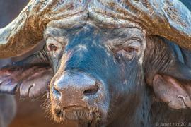 cape buffalo, cape buffalo photos, South Africa wildlife, South Africa wildlife photos, cape buffalo in South Africa, South Africa safari, Africa safari, Welgevonden Game Reserve, Welgevonden wildlife