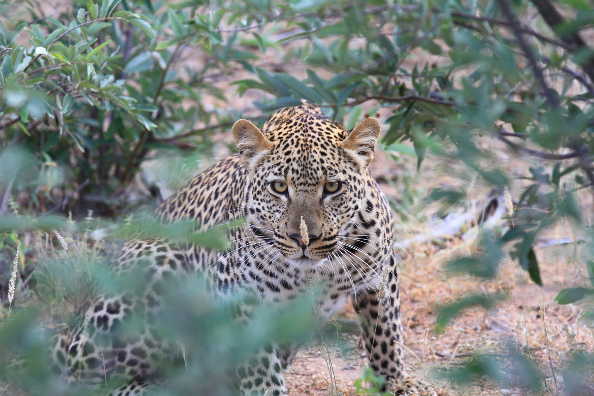 leopard, leopard photos, leopard images, south africa wildlife, south africa wildlife photos, south africa safari, south africa safari photos, african safari photos, african cats, leopards in africa, leopards in south africa, krugar national park