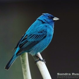 indigo bunting, indigo bunting photos, bunting photos, buntings, Illinois birds, birding in Illinois