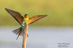 bee-eater, bee-eater photos, Sri Lanka birds, Sri Lanka wildlife, blue-tailed bee-eater, Asia birds, Asia bee eater, Asia wildlife, Thalawathugoda, Thalawathugoda wildlife, Thalawathugoda birds, blue-tailed bee-eater photos