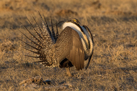 sage grouse, sage grouse photos, male sage grouse, Colorado wildlife, Colorado birds, grouse, grouse photos