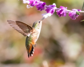 hummingbird, humming bird images, humming bird photos, united states wildlife, united states birds, american hummingbirds, California birds, California wildlife, Allen's hummingbird, Allen's hummingbird photos