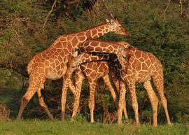 Grid trineck giraffes 5x7