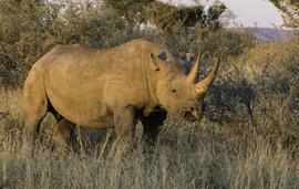 black rhino, black rhino photos, rhinoceros, black rhinoceros, African rhino, African safari, African wildlife, South Africa, South Africa wildlife, South Africa rhinos, Kalahari, Kalahari wildlife, rhinos in the Kalahari