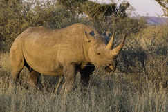 black rhino, black rhino photos, rhinoceros, black rhinoceros, African rhino, African safari, African wildlife, South Africa, South Africa wildlife, South Africa rhinos, Kalahari, Kalahari wildlife, rhinos in the Kalahari