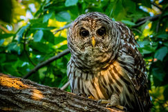 owl, owl photos, barred owl, barred owl photos, united states wildlife, united states wildlife photos, birds in Texas, owls in Texas, owls in Little Bear Creek Sanctuary, Little Bear Creek, Little Bear Creek Sanctuary