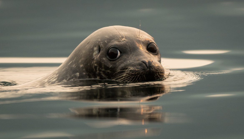 harbor seal, harbor seal photos, harbor seals in Canada, harbor seals in Vancouver Island, Vancouver Island wildlife, British Columbia wildlife