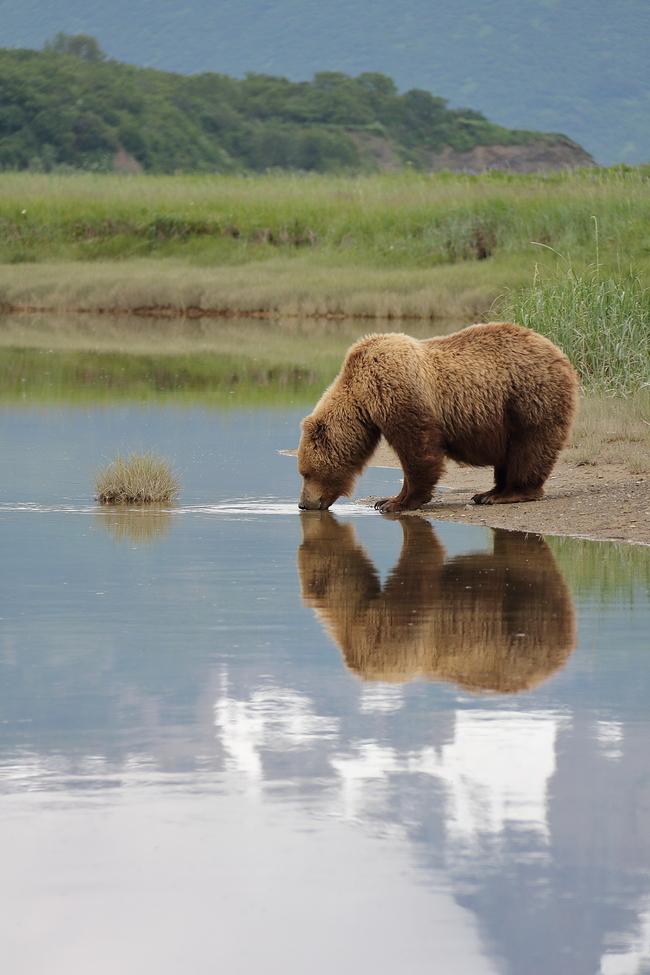 brown bear, grizzly bear, brown bear photos, grizzly bear images, Katmai National Park, Katmai National Park wildlife, united states wildlife photos, Alaska wildlife, Alaska bears, Alaska photos, Alaskan brown bear, Hallo Bay