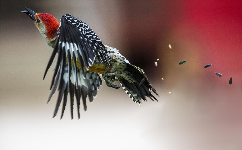 woodpecker, red-headed woodpecker, wood pecker photos, red-headed woodpecker photos, birding in the US, birding in Illinois, Illinois birds, woodpeckers in Illinois, woodpeckers in the US