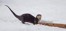 otter, otter photos, Canada wildlife, Canada otters, otters in Canada, otters Lake Temagami, photos of otters, Lake Temagami wildlife, Canada wildlife