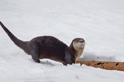 otter, otter photos, Canada wildlife, Canada otters, otters in Canada, otters Lake Temagami, photos of otters, Lake Temagami wildlife, Canada wildlife