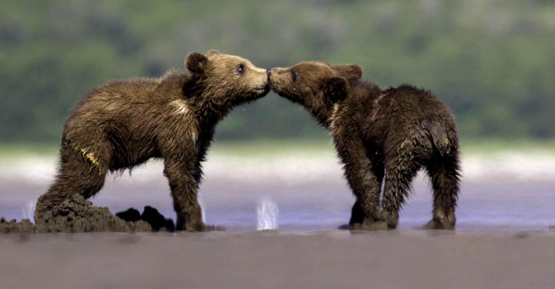 Brown bear, grizzly, bear cubs, Alaska, Katmai,