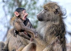 baboon, baboon photos, chacma baboon, baby baboon, baboon in Botswana, Botswana wildlife, Botswana wildlife photos, africa safari photos, africa safari, botswana safari, botswana safari photos, Chobe National Park, Chobe National Park wildlife
