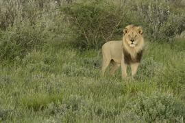 lion, lion photos, botswana wildlife, botswana wildlife photos, africa wildlife, africa wildlife photos, lions in botswana, photos of lions in botswana, botswana safari, botswana safari photos, africa safari, africa safari photo, Kalahari, black maned