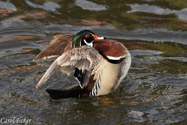 wood duck, wood duck photos, Pennsylvania ducks, Pennsylvania wildlife, birds in Pennsylvania, birding in Pennsylvania, Lehigh County