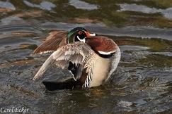 wood duck, wood duck photos, Pennsylvania ducks, Pennsylvania wildlife, birds in Pennsylvania, birding in Pennsylvania, Lehigh County
