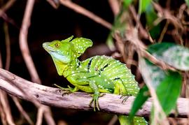 lizard, lizard photos, basilisk, basilisk photos, green basilisk lizard,