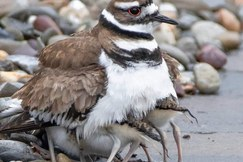 killdeer, killdeer photos, birding in New Jersey, New Jersey wildlife, birds in New Jersey, killdeer chicks, baby killdeer