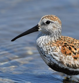 dunlin, dunlin photos, Ontario wildlife, Ontario birds, birding in Ontario, Canada birds, birding in Ontario