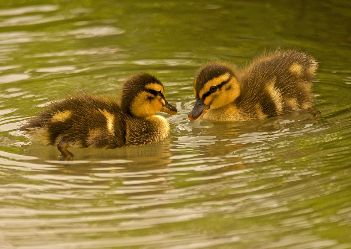 ducklings, ducking photos, baby ducks, baby duck photos, Montana wildlife, ducks in Montana, mallards, mallard ducklings, mallard photos, mallard duckling photos