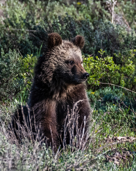 brown bear, grizzly bear, brown bear photos, grizzly bear images, grizzly cub, brown bear cub, Grand Teton National Park, Grand Teton National Park wildlife, united states wildlife photos, Alaska wildlife, Alaska bears, Alaska photos