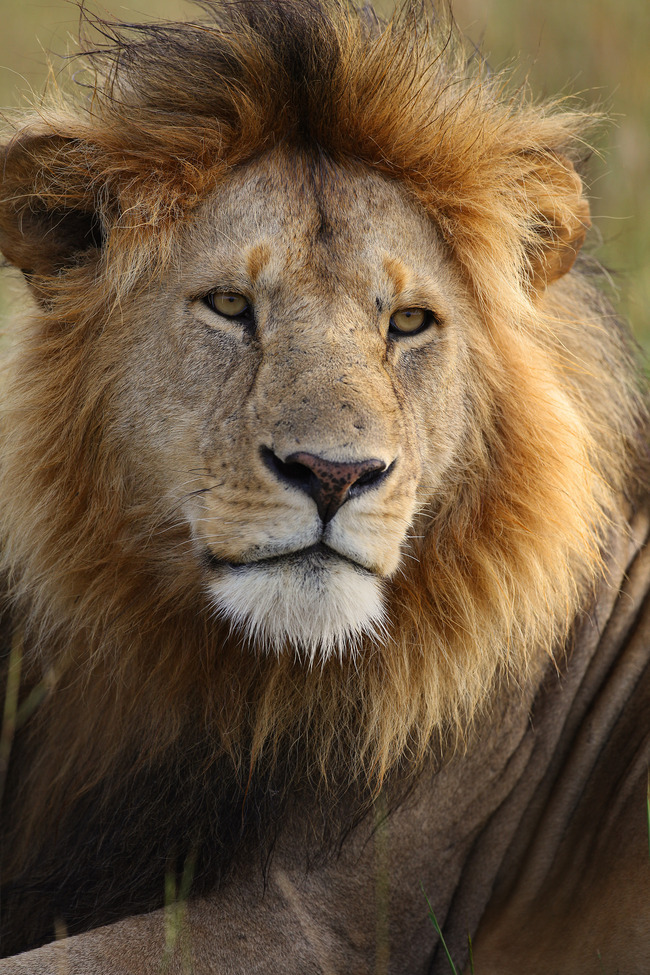 Lion, Kenya, safari, lion images, lion pictures, lion photography, African photography, Africa