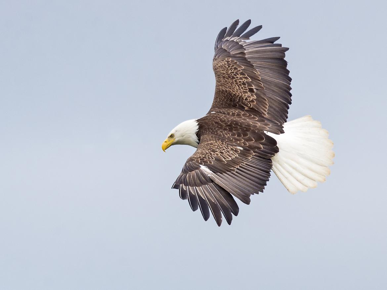 bald eagle, Alaska, Alaska wildlife, mcneil river state game reserve, bald eagle photos, bald eagle images, Alaska wildlife images