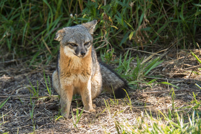 island fox, island fox photos, Channel Islands, Channel Islands National Park wildlife
