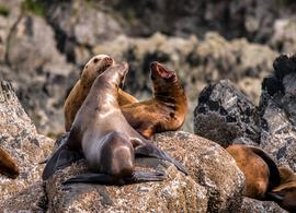 sea lion, sea lion photos, sea lion images, sea lions in Alaska, Alaska wildlife,