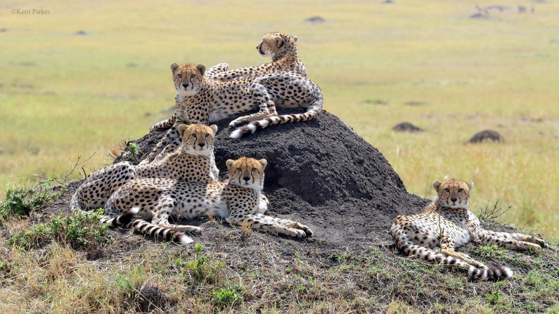 Cheetah, cheetah cub, cheetah cub photos, Kenya, Kenya wildlife, Kenya safari images, cheetah images, cheetah photos, kenya images, kenya photos, Maasai Mara, Maasai Mara wildlife