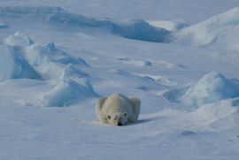 Grid polar bear arctic