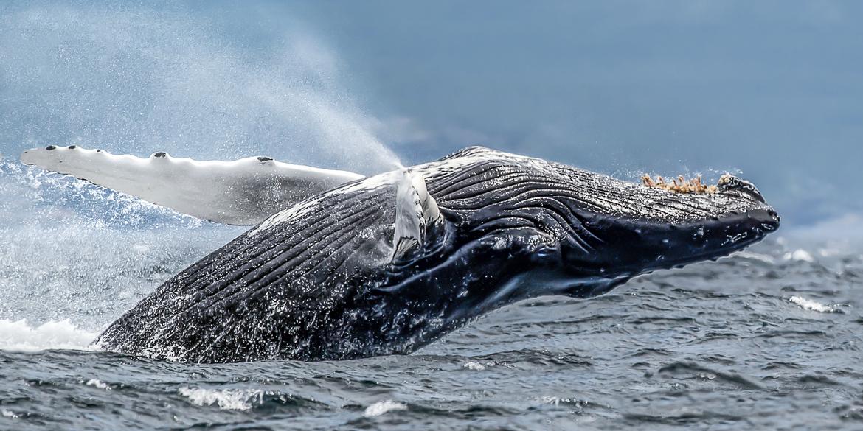 humpback whale, humpback whale photos, humpback whales in Canada, Canada wildlife, Canada marine life, Canada wildlife photos, Newfoundland, Newfoundland wildlife, whales in Canada, whales off Newfoundland