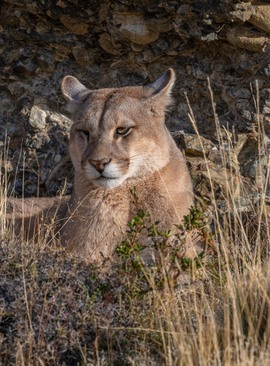 puma, puma photos, mountain lion, mountain lion photos, Chile wildlife, pumas in Chile, big cats in Chile, Torres del Paine National Park, Torres del Paine wildlife