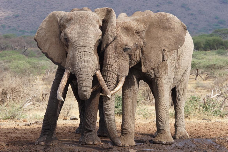 elephant, african elephant, elephant photos, african elephant photos, kenya wildlife, kenya wildlife photos, africa wildlife photos, africa wildlife, african safari photos, Chyulu Hills, Chyulu hills wildlife