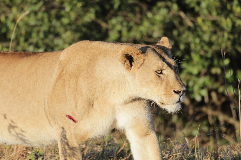 lion, lion photos, kenya wildlife, kenya wildlife photos, africa wildlife, africa wildlife photos, lions in kenya, photos of lions in kenya, kenya safari, kenya safari photos, africa safari, africa safari photo, Maasai Mara, Maasai Mara wildlife, lioness
