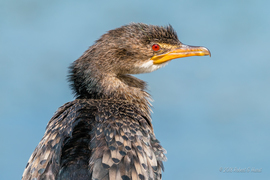 cormorant, cormorant photos, reed cormorant, reed cormorant photos, South Africa wildlife, birding in South Africa, Marievale Bird Sanctuary
