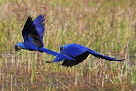 Grid pantanal brazil macaw cassiano zaparoli