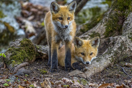 Grid 2 fox kits