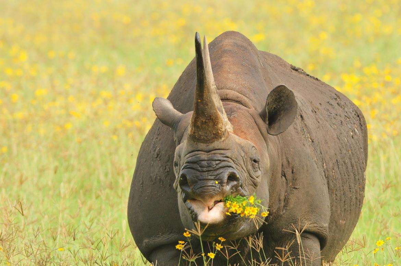 black rhino, black rhino photos, rhinoceros, black rhinoceros, African rhino, African safari, African wildlife, Tanzania, Tanzania wildlife, Tanzania rhinos, Ngorongoro Crater, Ngorongoro Crater wildlife