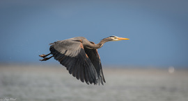 great blue heron, great blue heron photos, great blue heron flying, birds in British Columbia, birds in Canada, birding in Canada, birding in British Columbia, Comox
