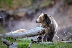 brown bear, grizzly bear, brown bear photos, grizzly bear images, Yellowstone, Yellowstone wildlife, united states wildlife photos, Wyoming wildlife, Yellowstone bears, Yellowstone National Park