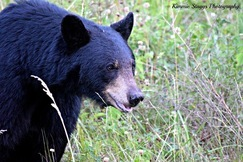 black bear, black bear photos, bears in US, photos of bears in US, West Virginia wildlife, bears in West Virginia