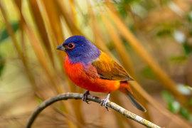painted bunting, painted bunting photos, Florida birding, birding in Florida, Merritt Island Wildlife Refuge