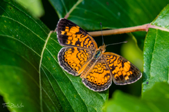 butterfly, butterfly photos, butterflies in the US, insects in the US, pearl crescent butterfly, pearl crescent butterfly photos, Texas butterflies, butterflies in Texas, Colleyville Nature Center