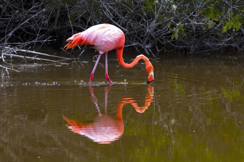Galapagos Islands, flamingo, galapagos photography, galapagos wildlife, flamingo images, flamingo photography