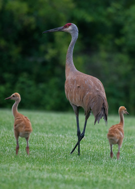 sand hill crane, sand hill crane photos, cranes, crane photos, cranes in the united states, united states wildlife, united states birds, wildlife in america, birds in america, birding in Illinois, sand hill cranes in Illinois