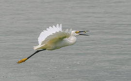egret, egret photos, snowy egret, snowy egret photos, Texas wildlife, mitchell lake audubon center, San Antonio wildlife, Texas birds, united states wildlife, united states birding