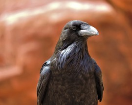 raven, raven photos, ravens in the US, Bears Ears National Monument, Bears Ears National Monument photos, Bears Ears National Monument wildlife, birds in the US, common raven, common raven photos, Utah wildlife, birding in Utah