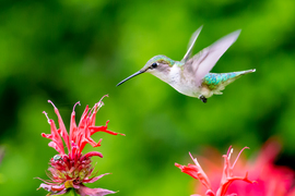 hummingbird, hummingbird photos, united states wildlife, united states birds, american hummingbirds, Colorado birds, Colorado wildlife, ruby throated hummingbird, ruby throated hummingbird photos