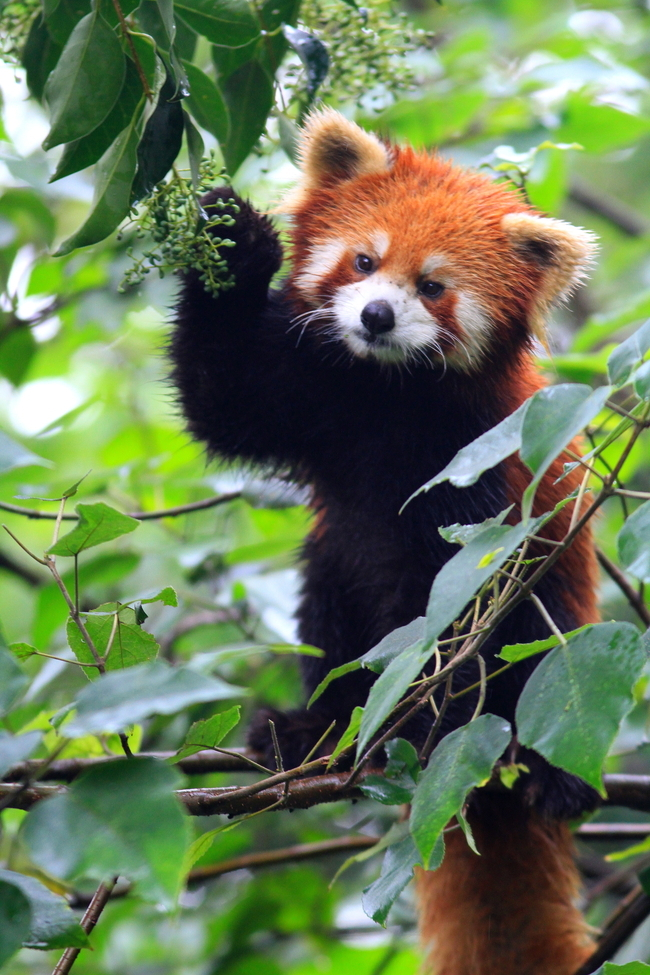 Red Panda, China, panda, red panda photography, Asia photography, Asia wildlife, Wild Panda Nature Reserve
